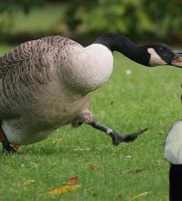 Fuck Geese (Guest Column)
